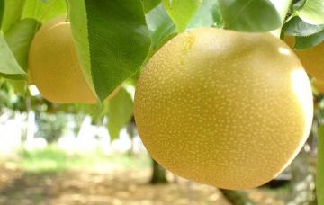 岩佐りんご園